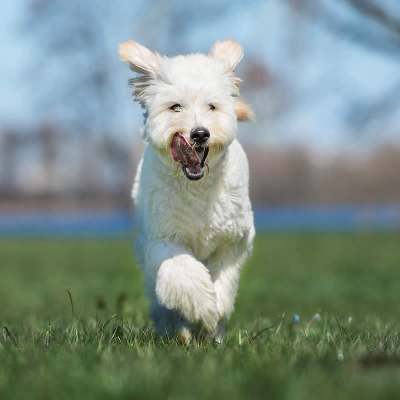 happy labradoodle running