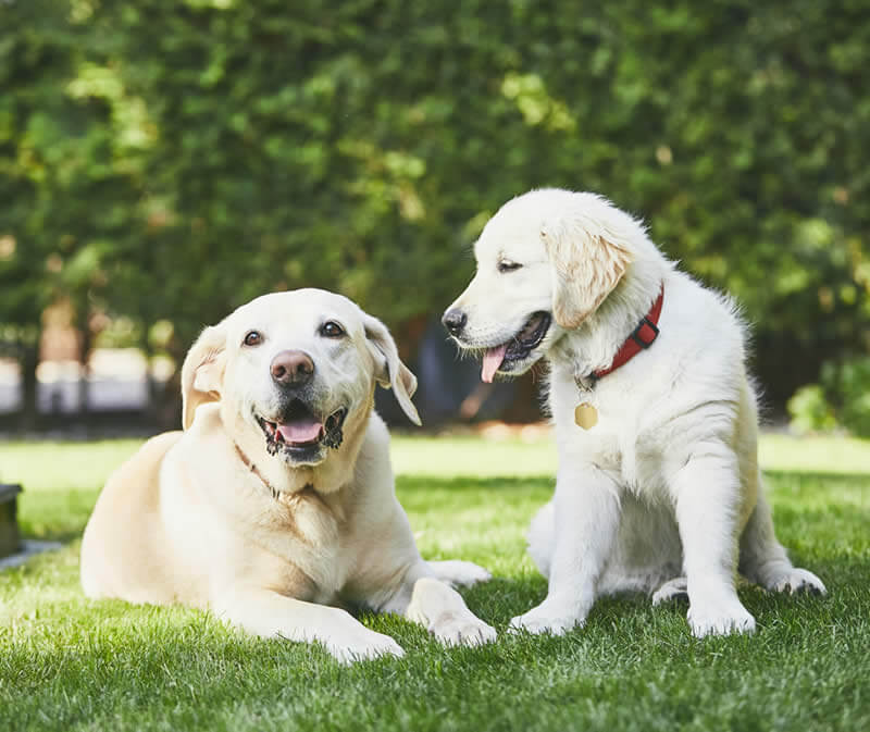 Old labrador dog next to young labrador dog image